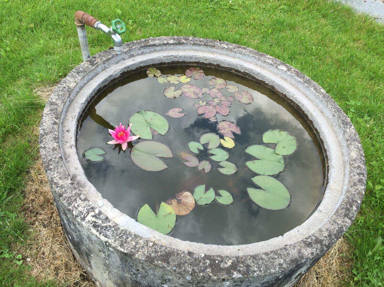 Brunnen-Seerose